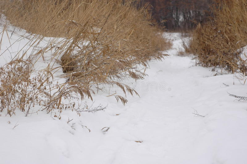Snow-covered path in the middle of reeds near the lake stock image