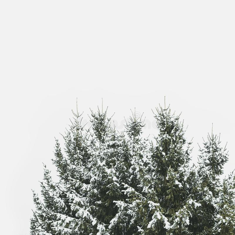 Snow covered peak of fir trees royalty free stock photo