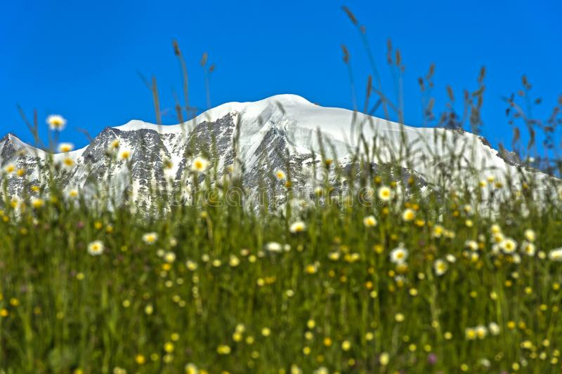 The snow-covered peaks of the Mont Blanc massif. The snow-covered peaks Aiguille de Bionnassay and Mont Blanc behind the green lawn of an alpine pasture, Mont royalty free stock image