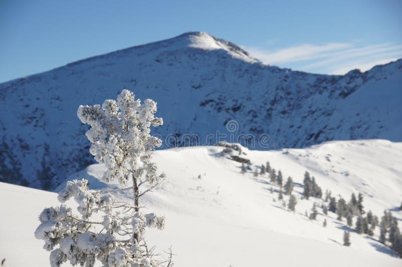 Snow-covered pijnboom in de Siberische bergen royalty-vrije stock foto