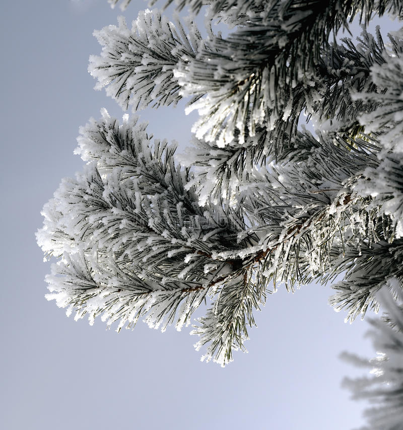 Snow covered pine branch stock images