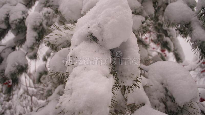 Snow-covered pine branch in a Christmas park in winter. Snow falls on the branches of fir trees. Beautiful winter royalty free stock photo