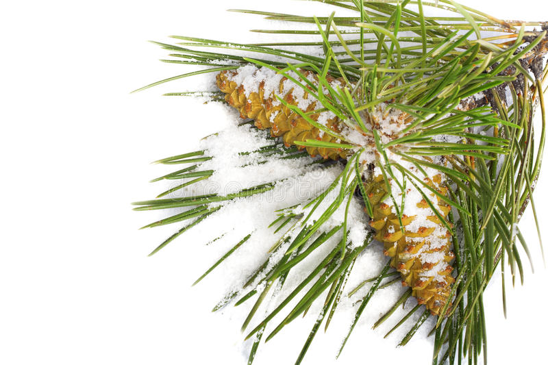 Snow-covered Pine Branch With Cones Stock Photo