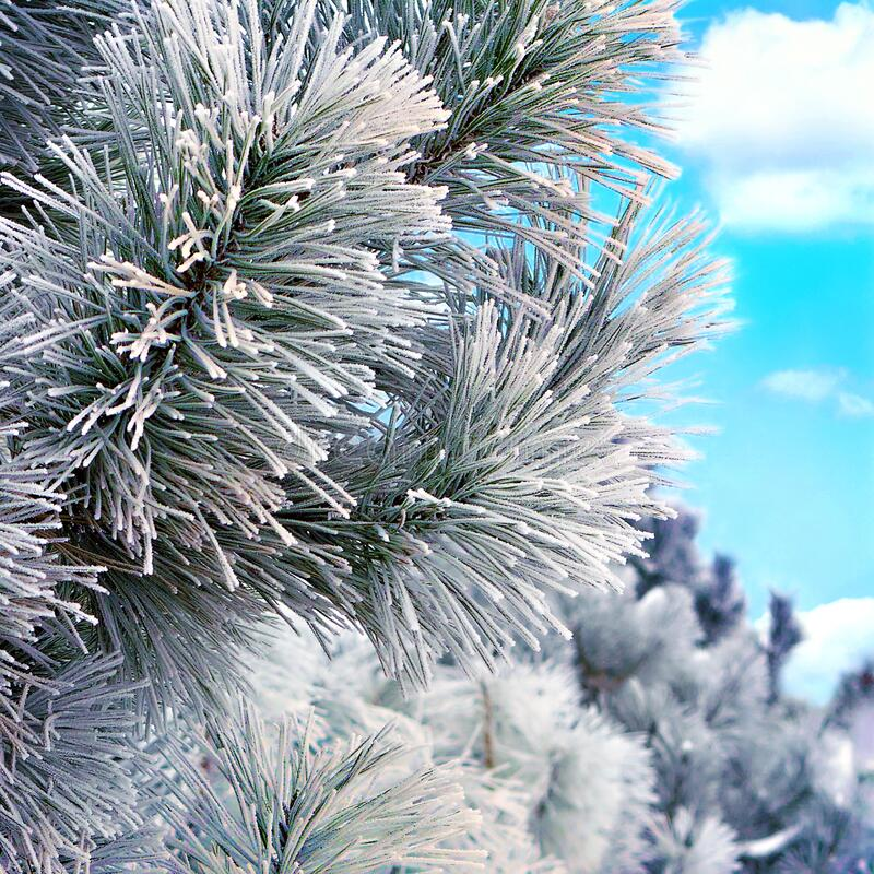 Snow covered pine branch royalty free stock photography