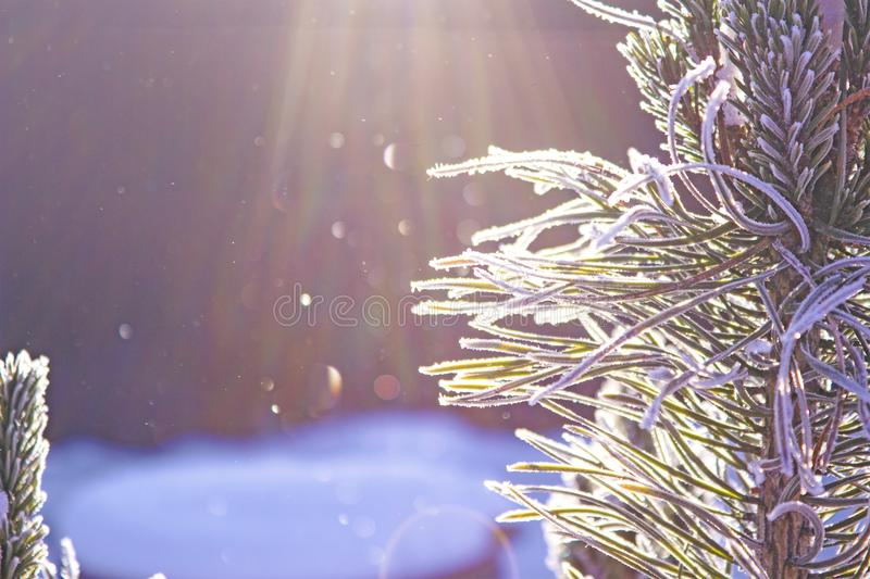 Snow-covered pine branch in the sunlight stock photography