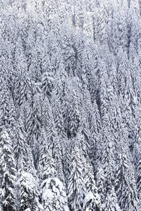 Download Snow covered pine forest stock image. Image of winter, leafy - 330025