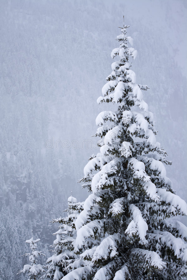 Free Snow Covered Pine Tree Royalty Free Stock Photos - 7968168