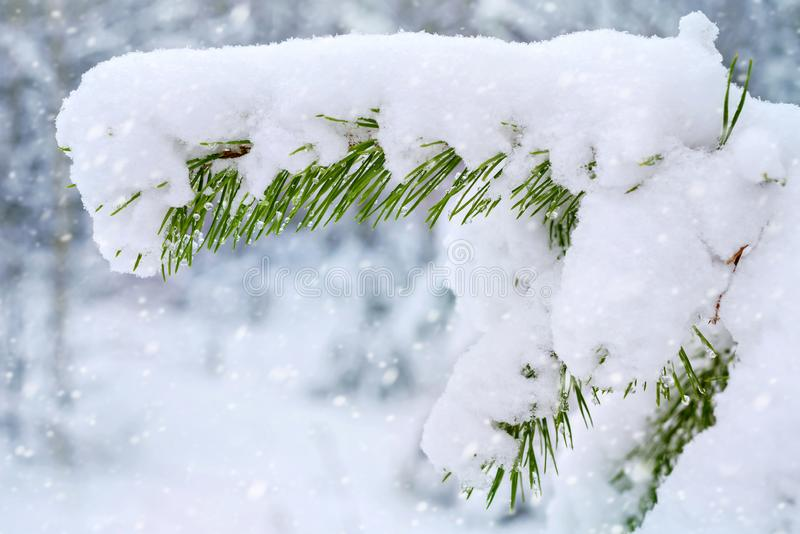 Snow-covered pine tree branch royalty free stock image
