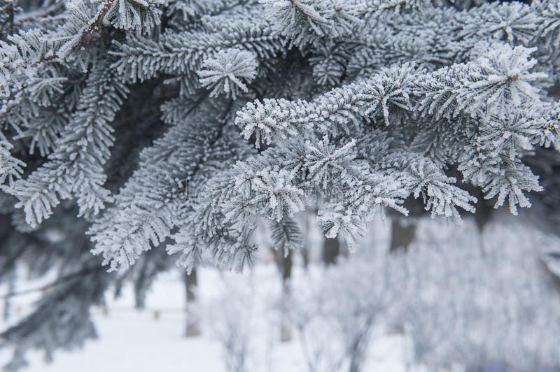 Snow Covered Pine Tree Branches Close Up royalty free stock photos