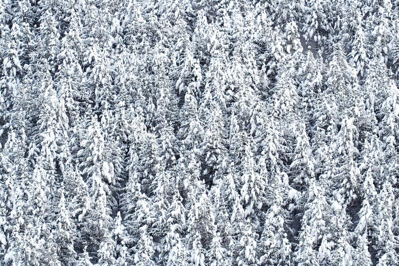 Snow covered pine trees royalty free stock photography