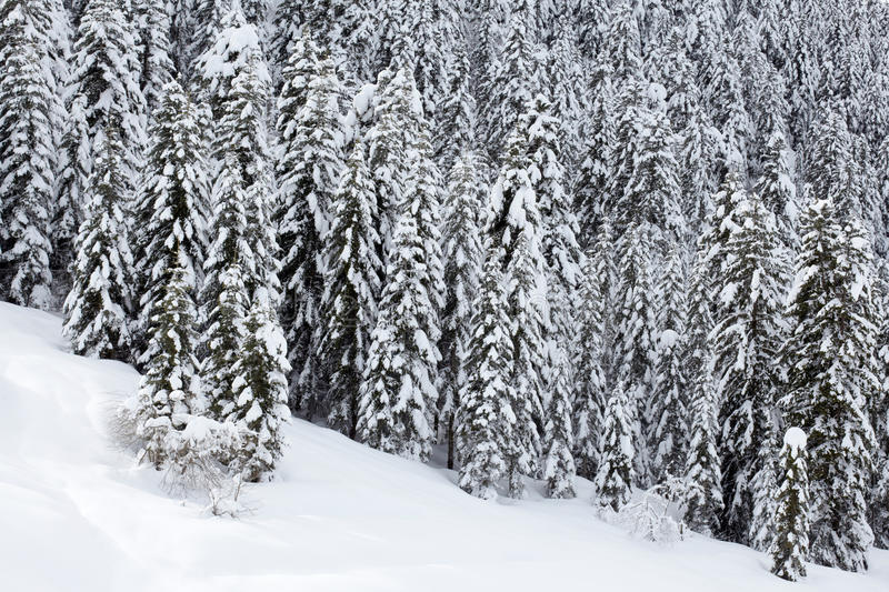 Download Snow Covered Pine Trees Forest Stock Image - Image: 17797981