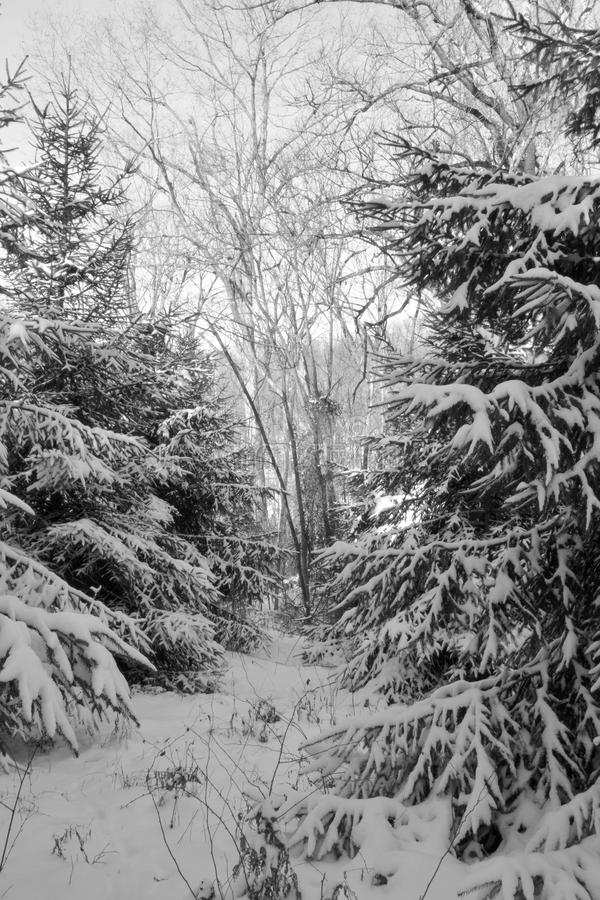 Snow covered pine trees with path. A snow covered path leads through pine trees covered in a heavy winter snow stock image
