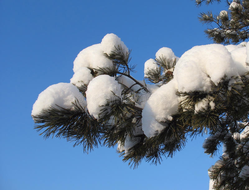 Snow-covered pine twig against blue sky background stock photography