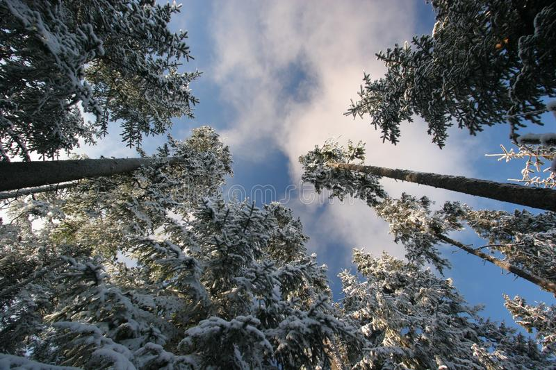 Snow covered pines. Pine trees covered by thick layer of snow at winter time. Picture taken from the bottom towards the blue sky (frog perspective stock photography