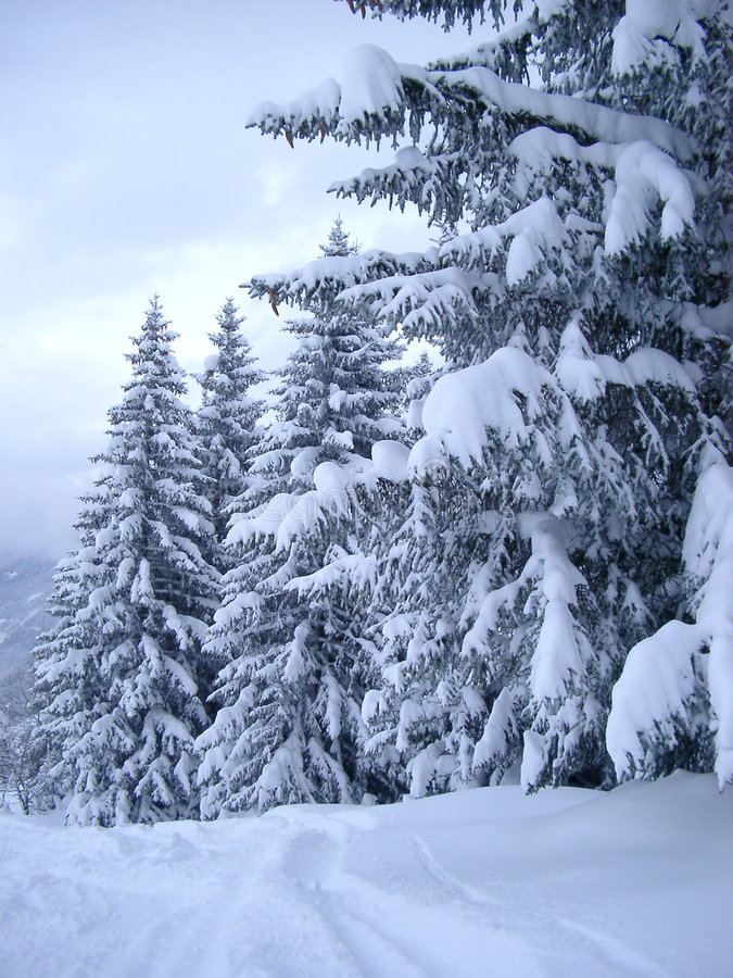 Snow Covered Pines. A row of fur trees covered in a thick layer of snow stock image