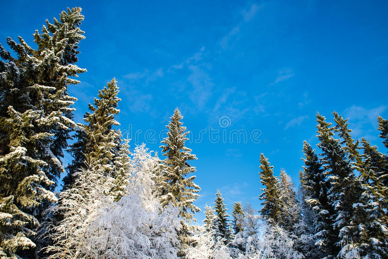 Snow-covered pines and birches with blue sky in the background. Spruces and birches seen in frog perspective with a blue sky in the background stock photo