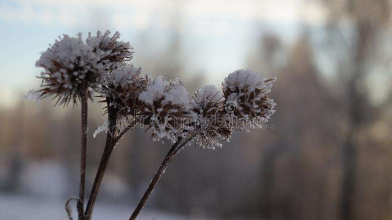 Snow-covered plant in the frost in winter. Snow covered flowers of plants in the frost in winter in the forest stock images
