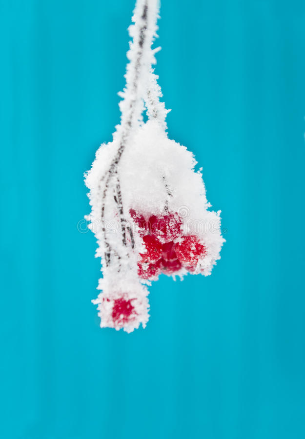 Snow covered red berries. Frost covered viburnum on blue background, Russia stock photos