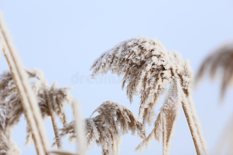 Snow-covered reeds. Ice covered reeds stock image