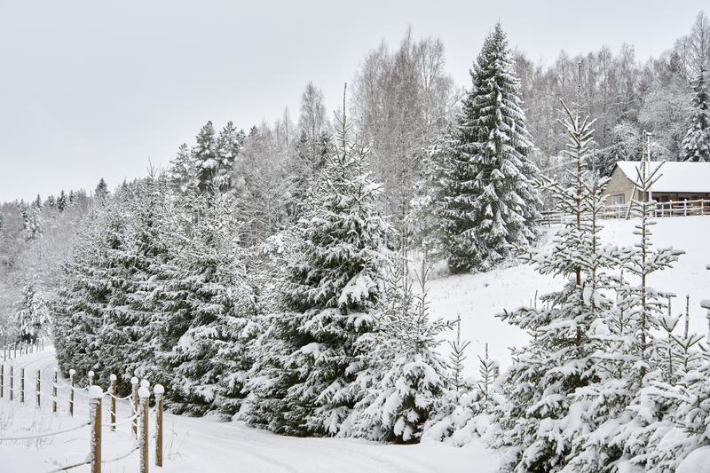 Snow-covered road in the forest near the spruce royalty free stock photography