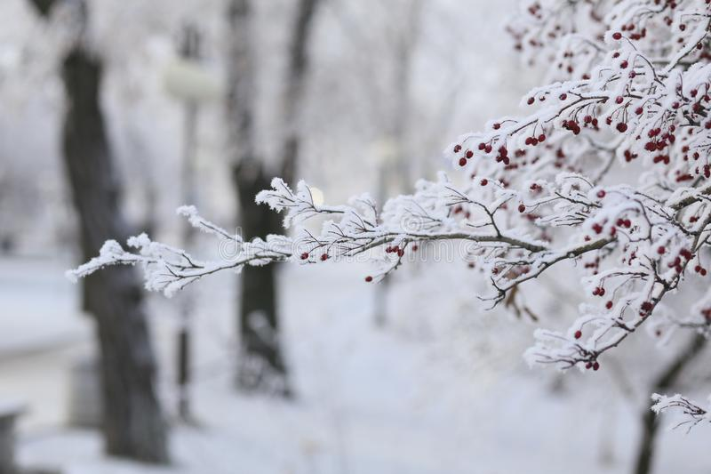Snow-covered rowan tree. Christmas holidays. Ice covered rowan tree. red berries stock photos