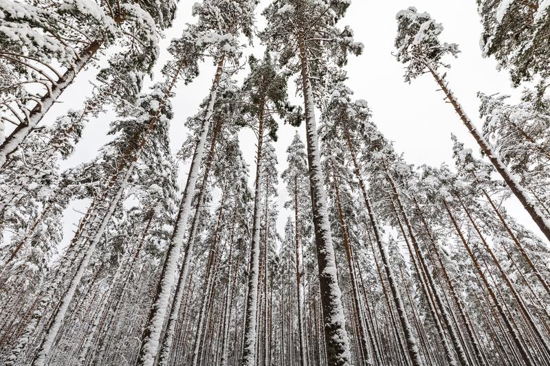 Snow covered Scandinavian pinewood forest with pine tree stems, Pinus sylvestris. Pinewood forest in Evje, Norway. Pine trees, Pinus sylvestris, covered in snow royalty free stock images