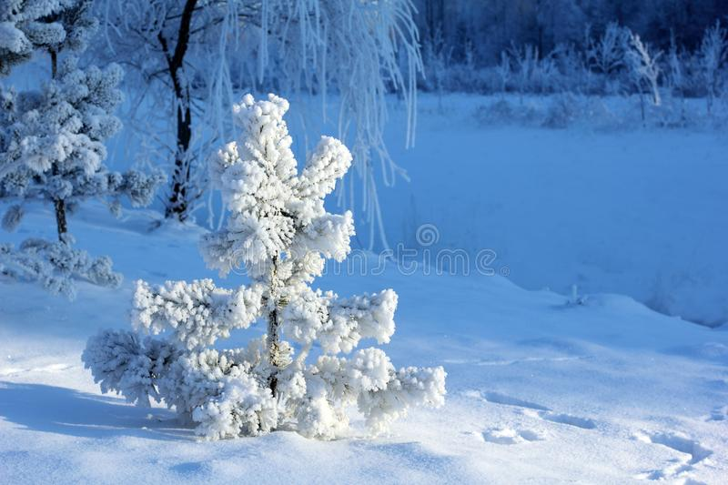 Snow Covered Small Pine Tree royalty free stock photography