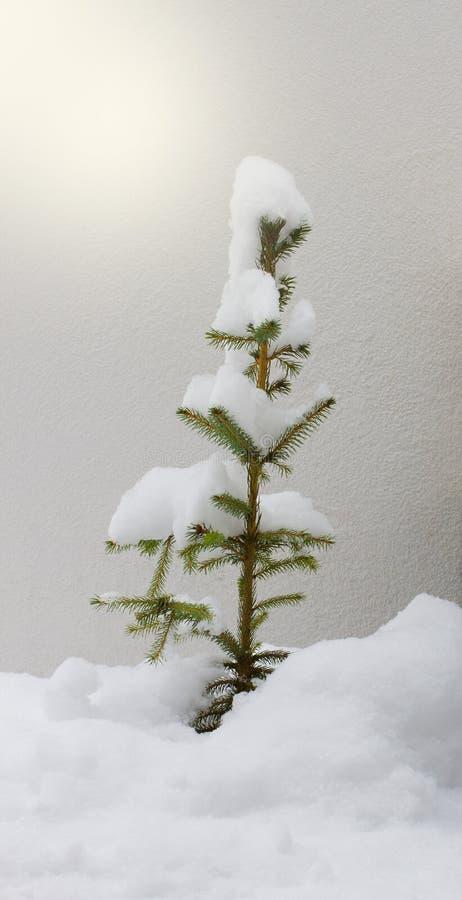 Download Snow-covered sparren stock afbeelding. Afbeelding bestaande uit behandeld - 29504169