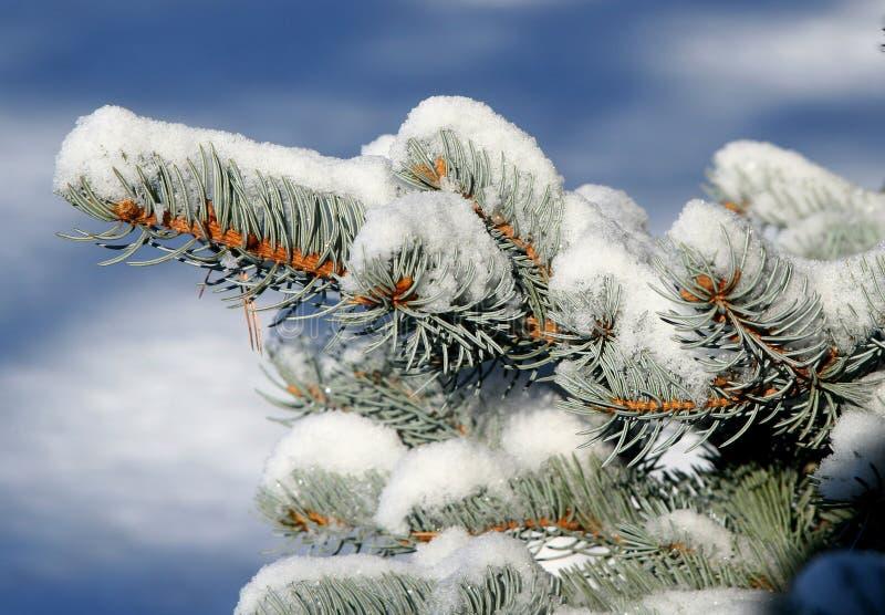 Snow-covered Sparren royalty-vrije stock foto