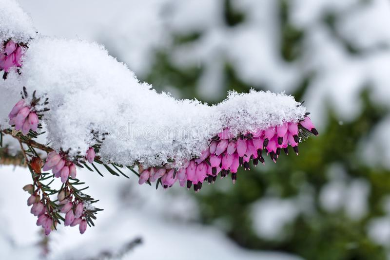 Snow-covered spring heath in bloom royalty free stock image