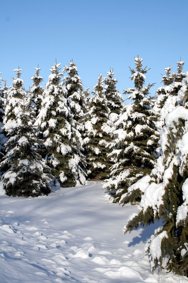 Snow Covered Spruce stock images