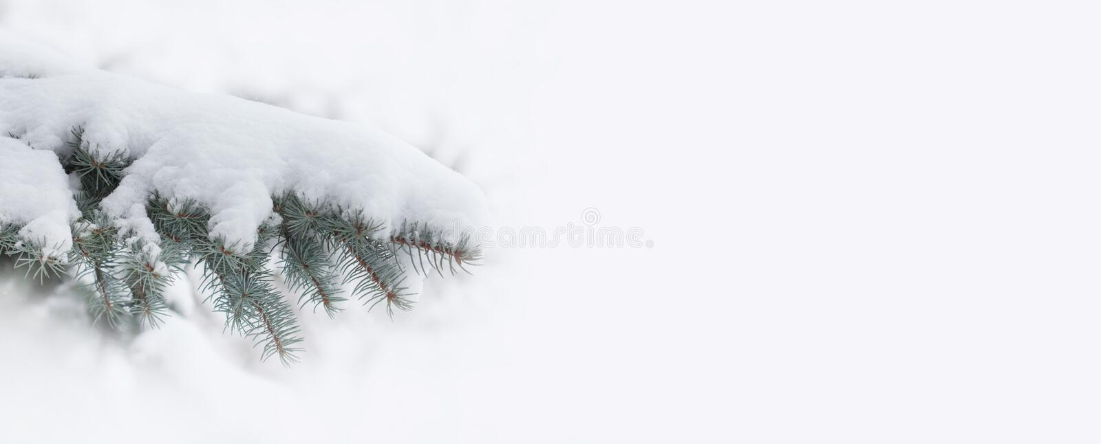 Snow covered spruce branch. Beautiful evergreen fir tree xmas decoration element on white background. copy space royalty free stock photography