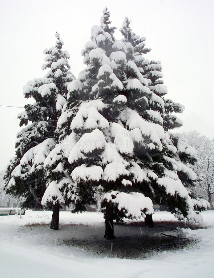 Snow-covered Tannenbaum lizenzfreie stockbilder