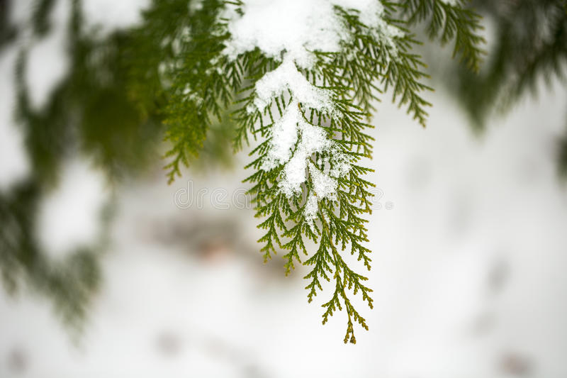 Snow covered of thuja branch. Close up. Coniferous branches and cones covered with hoarfrost. Close up stock image