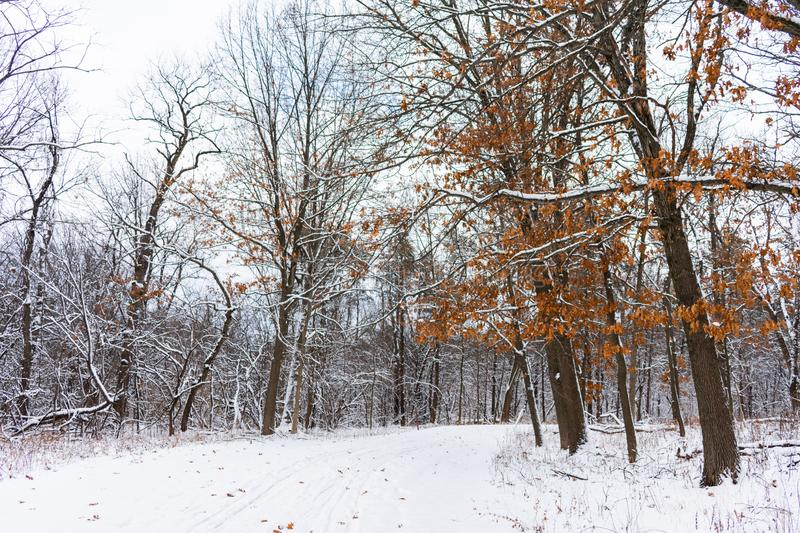 Snow Covered Trail in a Midwestern Forest and a Tree with Brown Leaves royalty free stock images