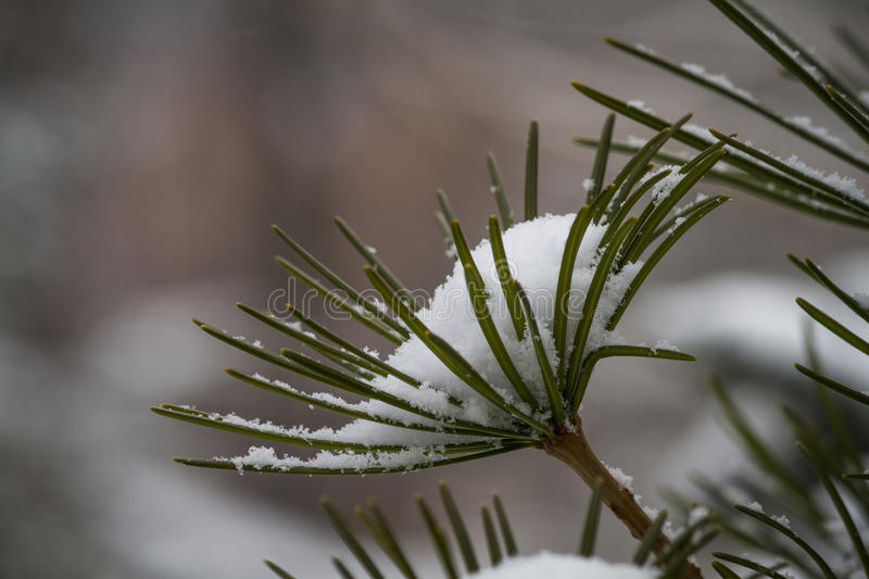Snow-covered Tree stock image