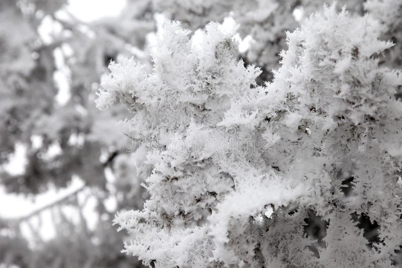 Snow covered tree branches. Snow covered the tree branches stock photography