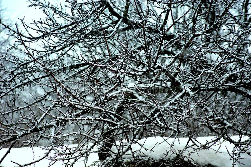 Snow-covered tree branches beautiful lace contrasted in the snowy rest. royalty free stock photo