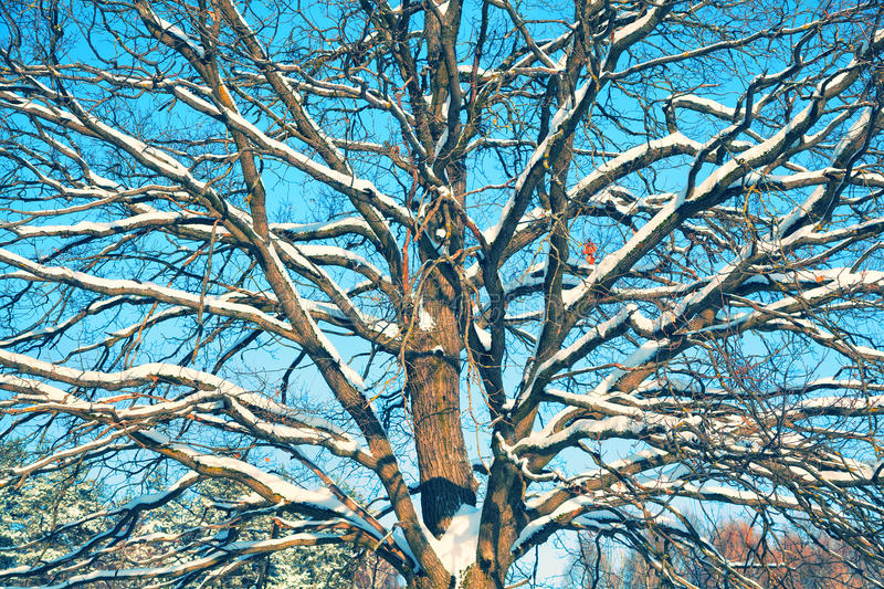 Snow covered tree on a cold sunny winter day royalty free stock image