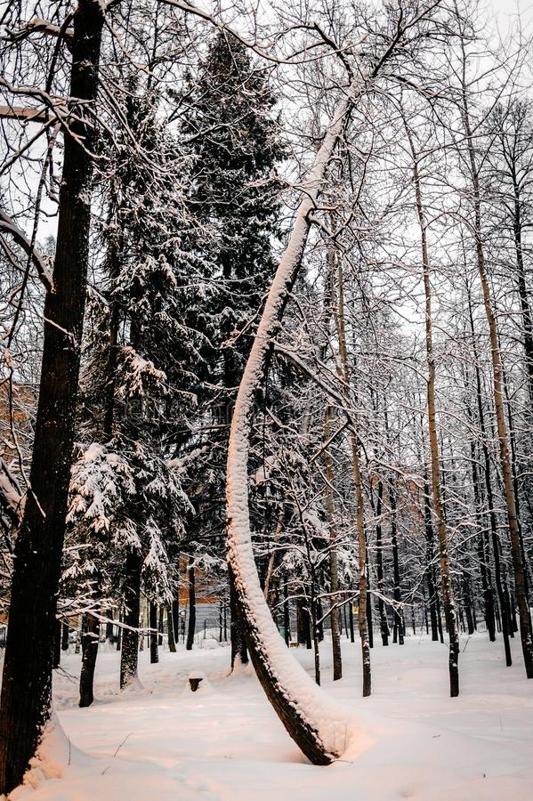 Snow covered tree with curved trunk winter stock image