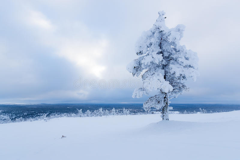 Snow covered tree in Finnish Lapland stock photography