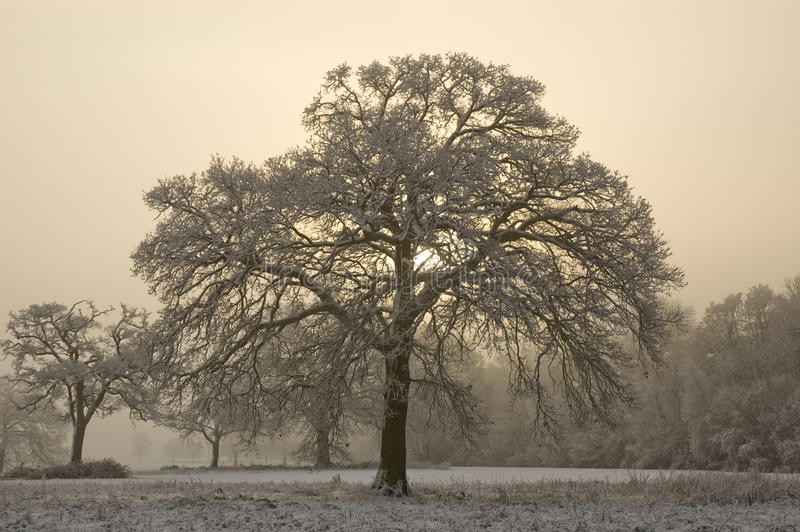 Download Snow Covered Tree With Misty Background Stock Image - Image: 33537563