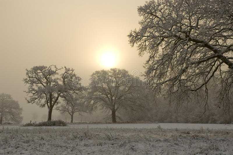Snow Covered Tree With Misty Background Stock Images