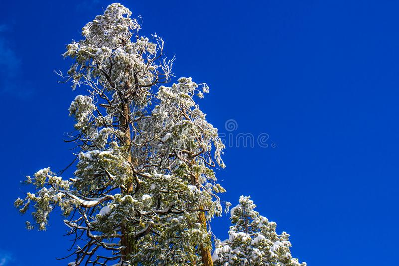 Snow Covered Tree Tops With Blue Sky Background. Wet Heavy Snow Covered Tree Tops In Forest With Blue Sky Background royalty free stock photo