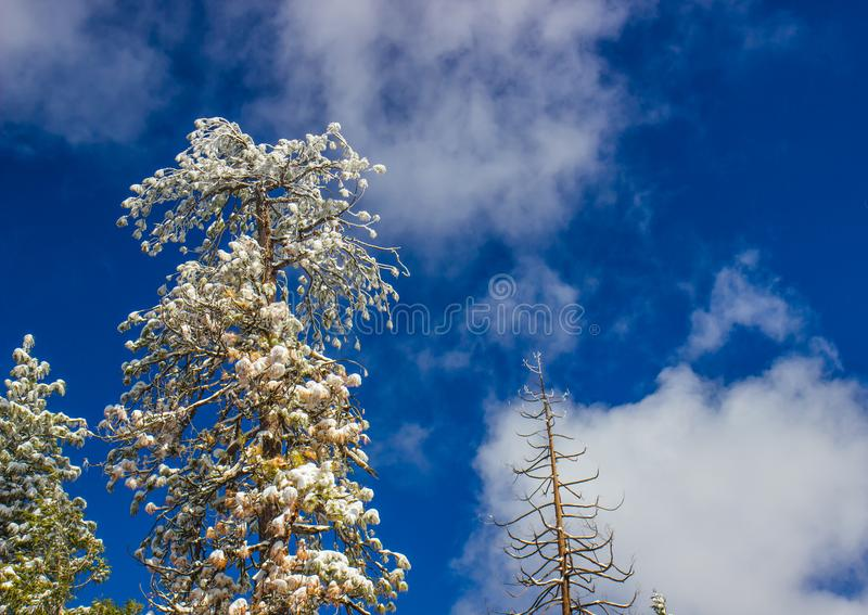 Snow Covered Tree Tops With Blue Sky Background. Snow Covered Tree Tops In Winter With Blue Sky Background stock photos