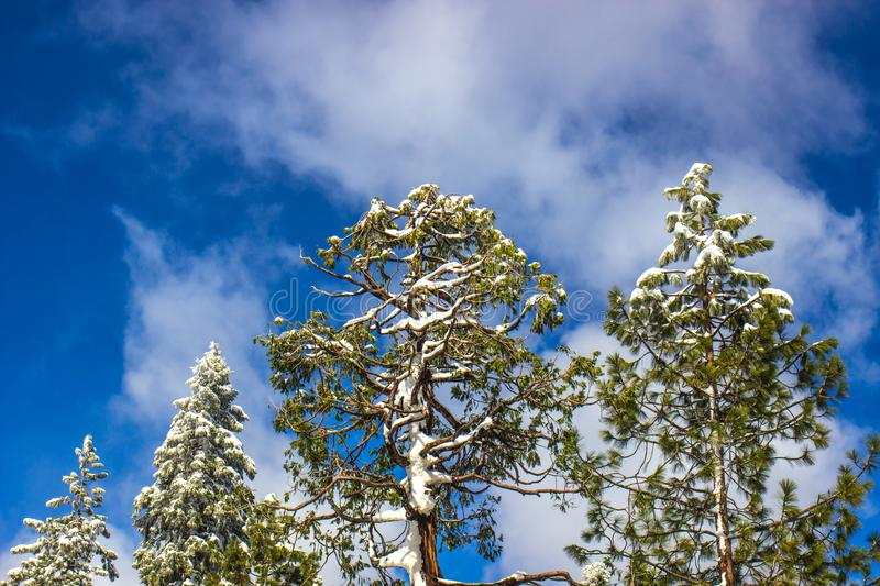 Snow Covered Tree Tops In Winter. With Clouds & Blue Sky royalty free stock photo