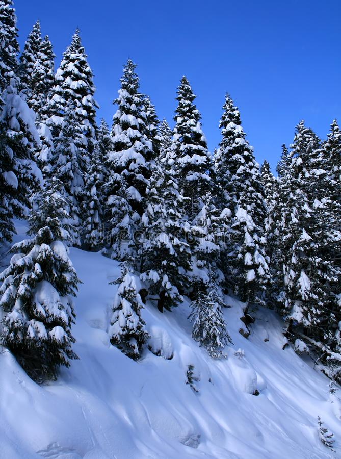Download Snow Covered Trees 10 stock image. Image of conical, upright - 4031587