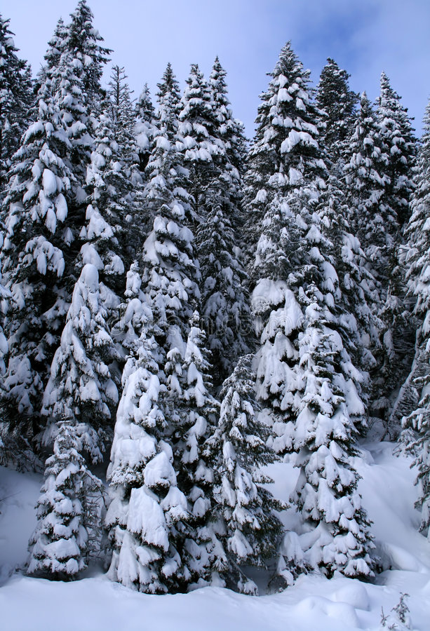 Download Snow Covered Trees 8 stock photo. Image of conical, wild - 4018990