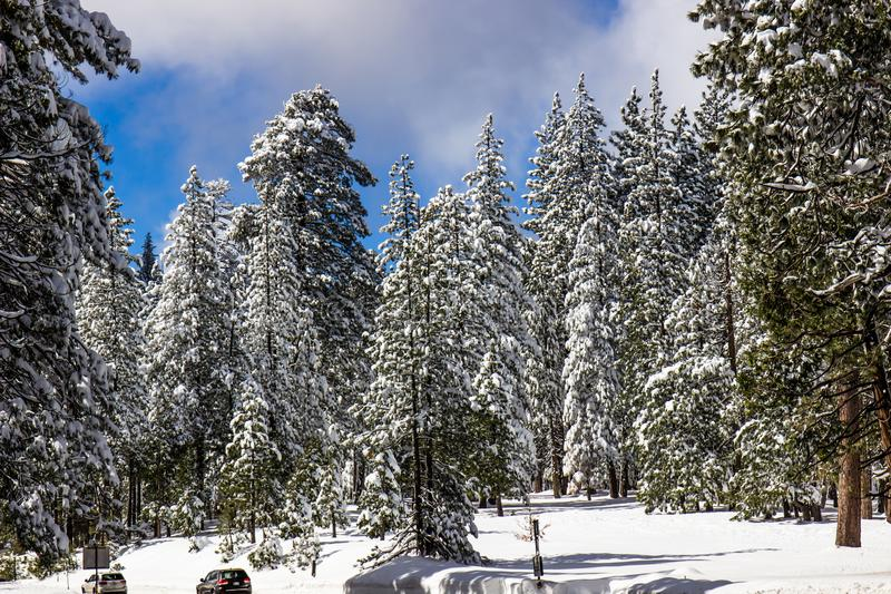 Snow Covered Trees Along Road In High Sierras. Snow Covered Trees In Forest Along Highway In Sierra Nevada Mountains stock photography