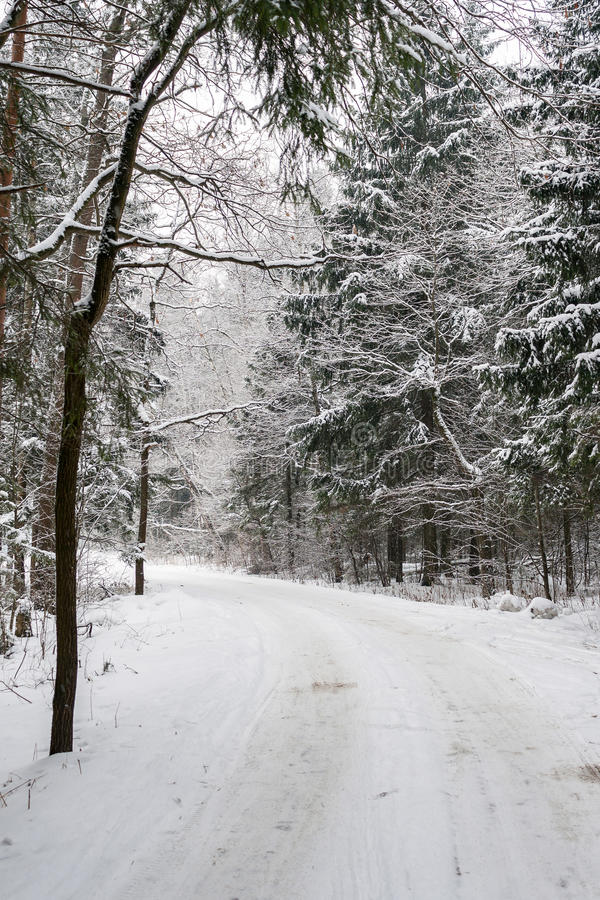 Snow covered trees along the roadside in the winter forest stock image